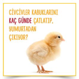 Civcivler kabuklarını kaç günde çatlatıp, yumurtadan çıkıyor ?