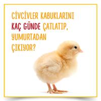 Civcivler Kaç Günde Yumurtadan Çıkıyor?